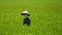 Local working in the rice frields in northern Vietnam |  <i>Steve Tulley</i>