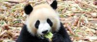 A delightful Panda enjoying a snack in Chengdu. | Alana Johnstone