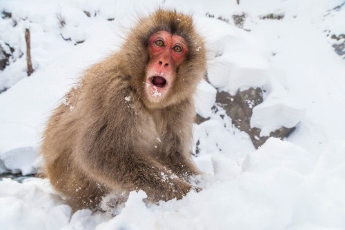 Snow monkey in Jigokudani Monkey Park&#160;-&#160;<i>Photo:&#160;Felipe Romero Beltran</i>